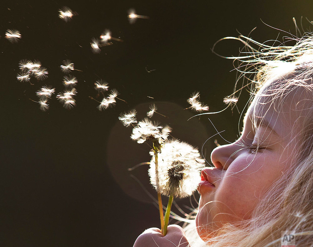 A young girl blows dandelion seeds in the air in a park in Frankfurt, Germany, on a sunny Thursday, May 3, 2018. (AP Photo/Michael Probst)