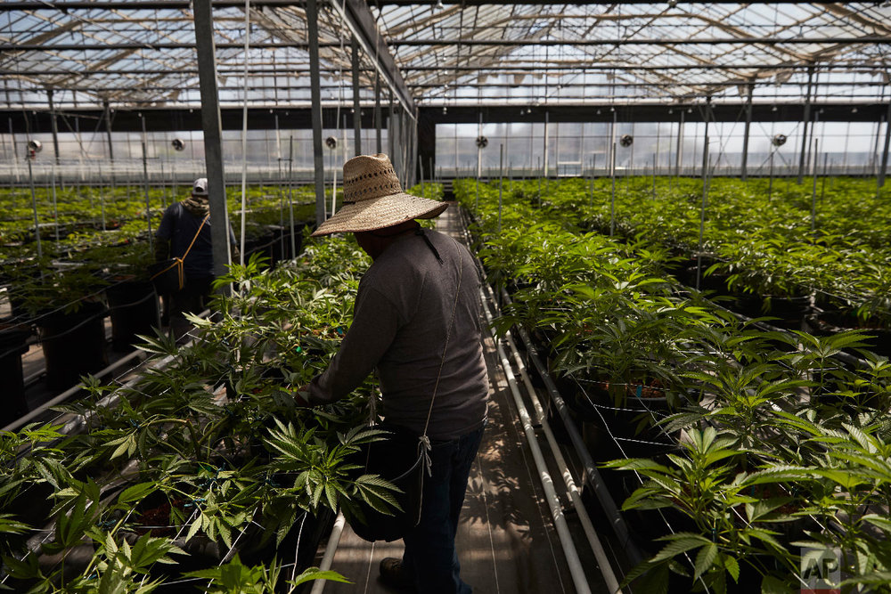 Workers tend to plants in a greenhouse growing cannabis plants at Glass House Farms Thursday, April 12, 2018, in Carpinteria, Calif. Carpinteria, about 85 miles (137 kilometers) northwest of Los Angeles, is located on the bottom of Santa Barbara County, a tourist area famous for its beaches, wine and temperate climate. It's also gaining notoriety as a haven for cannabis growers. The county amassed the largest number of marijuana cultivation licenses in California since broad legalization arrived on Jan. 1, nearly 800, according to state data compiled by The Associated Press. (AP Photo/Jae C. Hong)