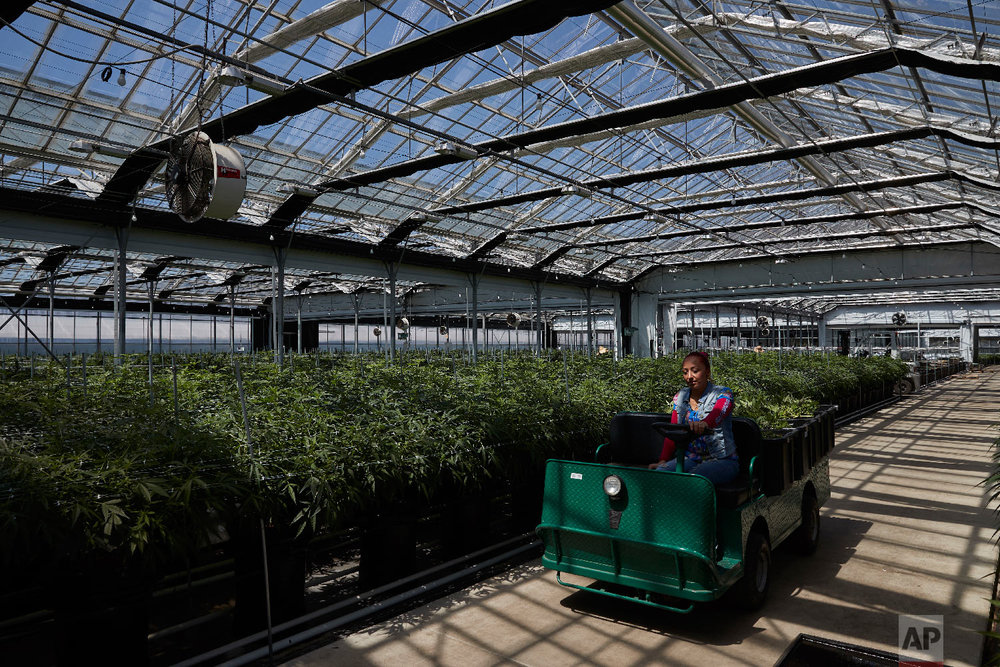A worker drives a cart past cannabis plants in a greenhouse at Glass House Farms Thursday, April 12, 2018, in Carpinteria, Calif. Santa Barbara county amassed the largest number of marijuana cultivation licenses in California since broad legalization arrived on Jan. 1 - nearly 800, according to state data compiled by The Associated Press. Two-thirds of them come from Carpinteria and Lompoc, a larger agricultural city about an hour's drive to the northwest. (AP Photo/Jae C. Hong)