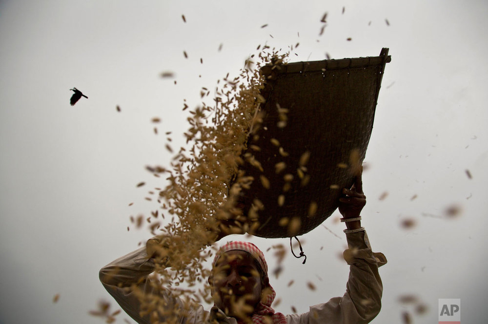 A woman manually separates wheat from the chaff in a field on the outskirts of Gauhati, India, Wednesday, May 9, 2018. More than 70 percent of India's 1.25 billion citizens engage in agriculture. (AP Photo/Anupam Nath)