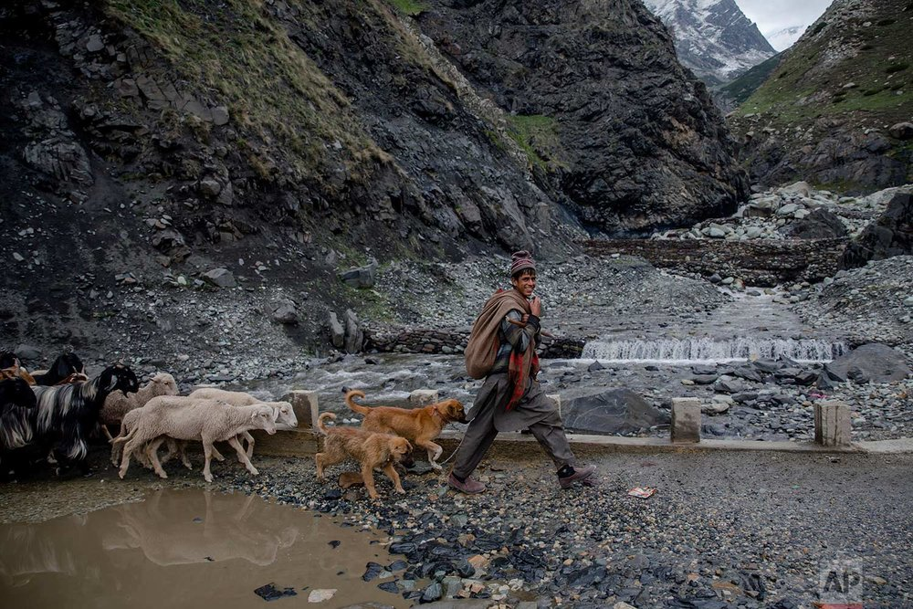 In this May 9, 2018, photo, a Kashmiri nomadic Bakarwal boy leads the heard of sheep and goats near Dubgan, 70 kilometers (43 miles) south of Srinagar, Indian controlled Kashmir. (AP Photo/Dar Yasin)