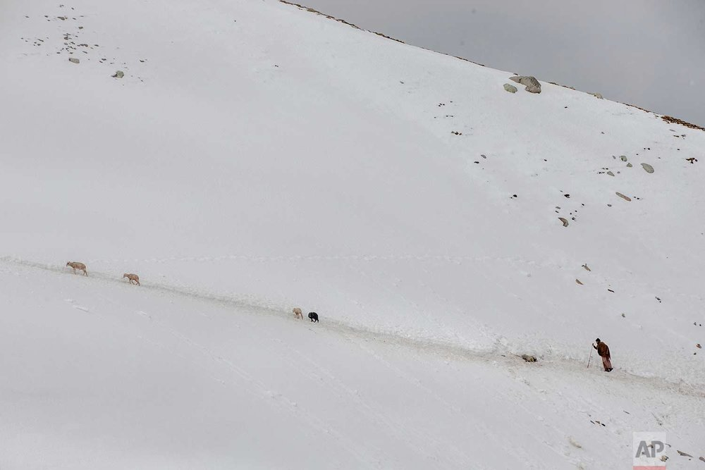 In this May 9, 2018, photo, Ghulam Nabi, a Kashmiri nomadic Bakarwal walks on a slippery snow covered mountain track as he tends to his 4 remaining sheep out of a heard of 50 sheep and goats which slipped to death on the same track at Peer Ki Gali, 80 kilometers (50 miles) south of Srinagar, Indian controlled Kashmir. (AP Photo/Dar Yasin)