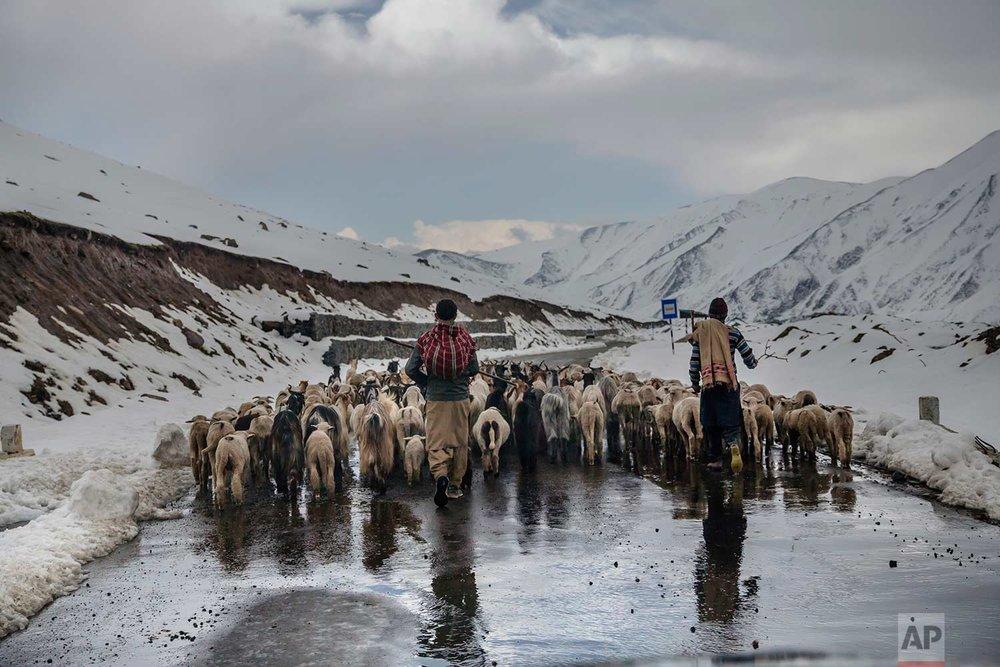 In this May 9, 2018, photo, Kashmiri nomadic Bakarwals walks with heard of sheep and goats near Peer Ki Gali, India, 80 kilometers (50 miles) south of Srinagar, Indian controlled Kashmir. (AP Photo/Dar Yasin)