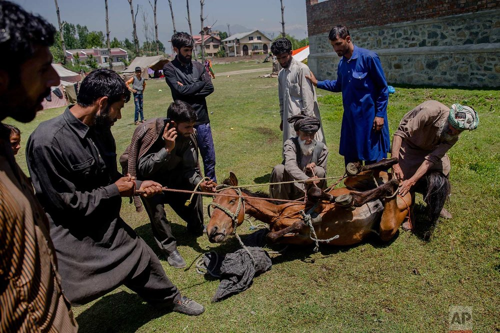 In this May 11, 2018, photo, Kashmiri nomadic Bakarwal men hold ropes tied to a horses as they castrate it using a traditional method that involves using hot iron rods at a camp on the outskirts of Srinagar, Indian controlled Kashmir. (AP Photo/Dar Yasin)
