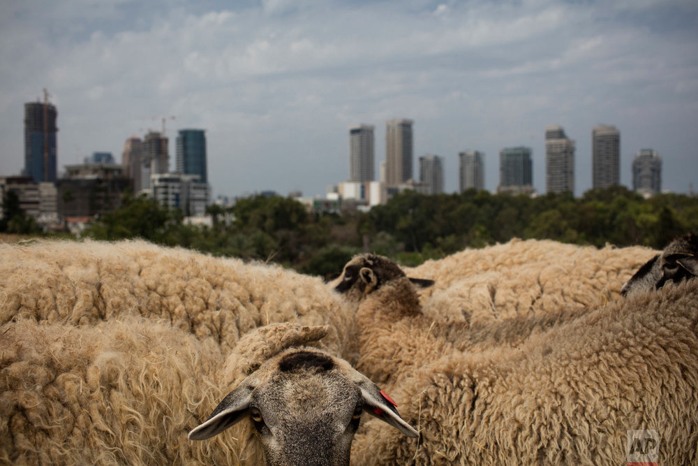 A small flock of sheep graze in a field overlooking Tel Aviv as part of a project to bring back the nature to the city like it use to be, in Tel Aviv, Israel, Monday, May 28, 2018. (AP Photo/Oded Balilty)