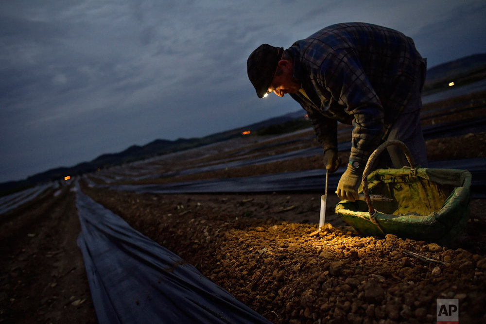 Blas, 53, a Spanish temporary worker, collects asparagus from the field using a lantern in Uterga, around 15 km (9 miles) from Pamplona, northern Spain on Saturday, June 2, 2018 (AP Photo/Alvaro Barrientos)