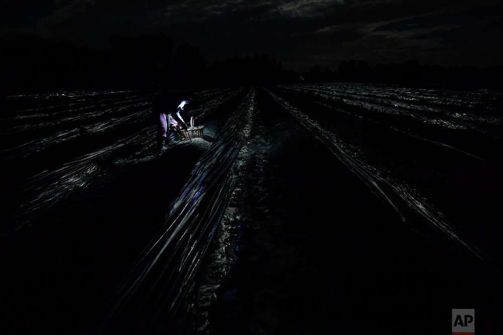 A temporary worker using a lantern collects white asparagus from the field in Caparroso, around 85 km (52 miles) from Pamplona, northern Spain on Thursday, May 31, 2018. (AP Photo/Alvaro Barrientos)