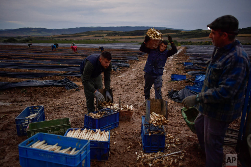 Seasonal workers collect white asparagus in Uterga, around 15 km (9 miles) from Pamplona, northern Spain on Saturday, June 2, 2018. (AP Photo/Alvaro Barrientos)