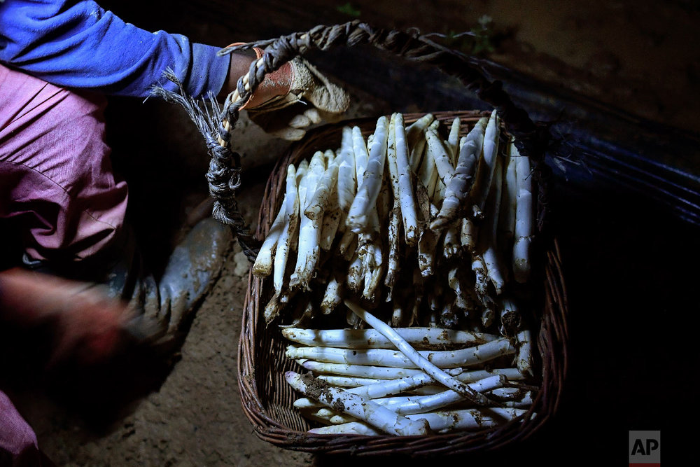 A temporary worker using a lantern collects white asparagus from a field in Caparroso, around 85 km (52 miles) from Pamplona, northern Spain on Thursday, May 31, 2018. (AP Photo/Alvaro Barrientos)
