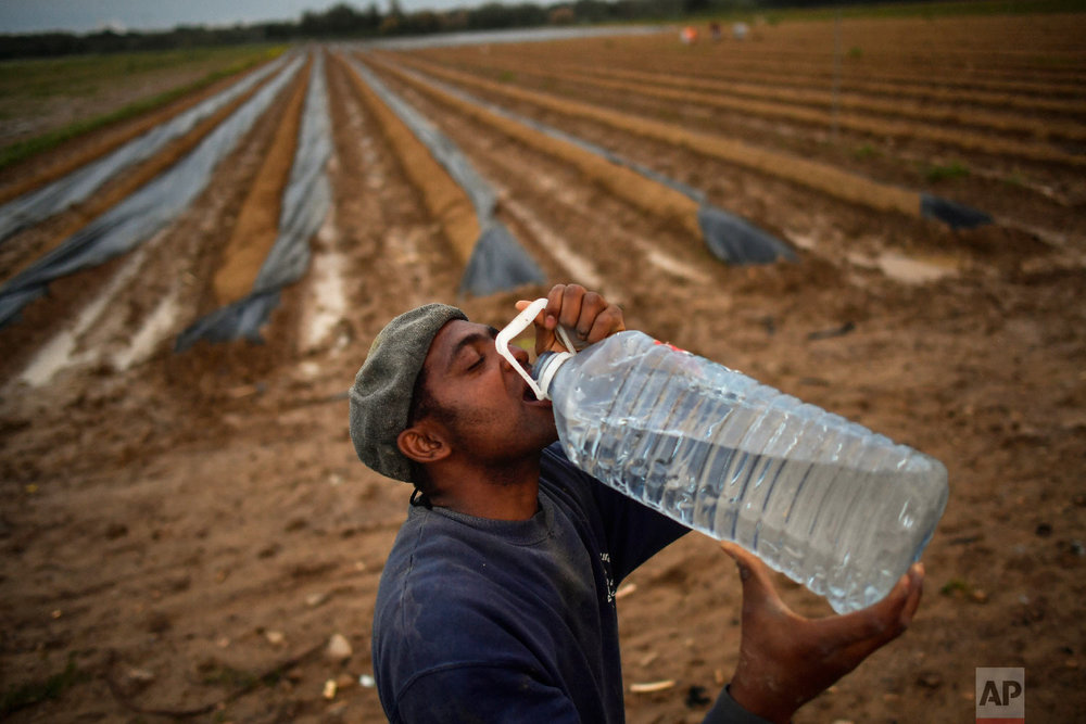 A temporary worker drinks water, as he collects asparagus from a field in Caparroso, around 85 km (52 miles) from Pamplona, northern Spain on Thursday, May 31, 2018. (AP Photo/Alvaro Barrientos)