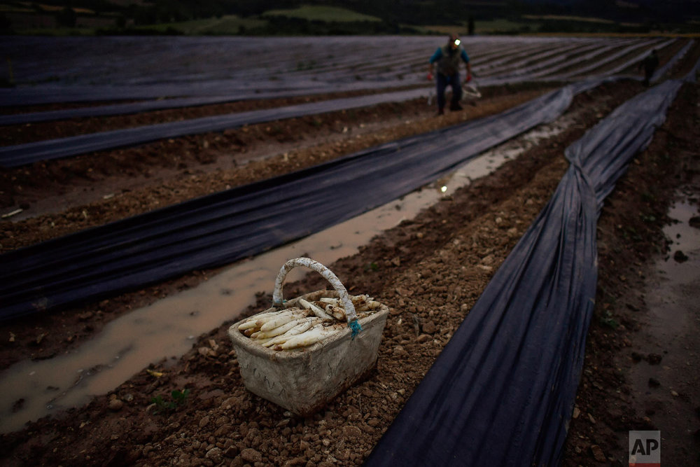 A seasonal worker collects white asparagus in Uterga, around 15 km (9 miles) from Pamplona, northern Spain on Saturday, June 2, 2018. (AP Photo/Alvaro Barrientos)