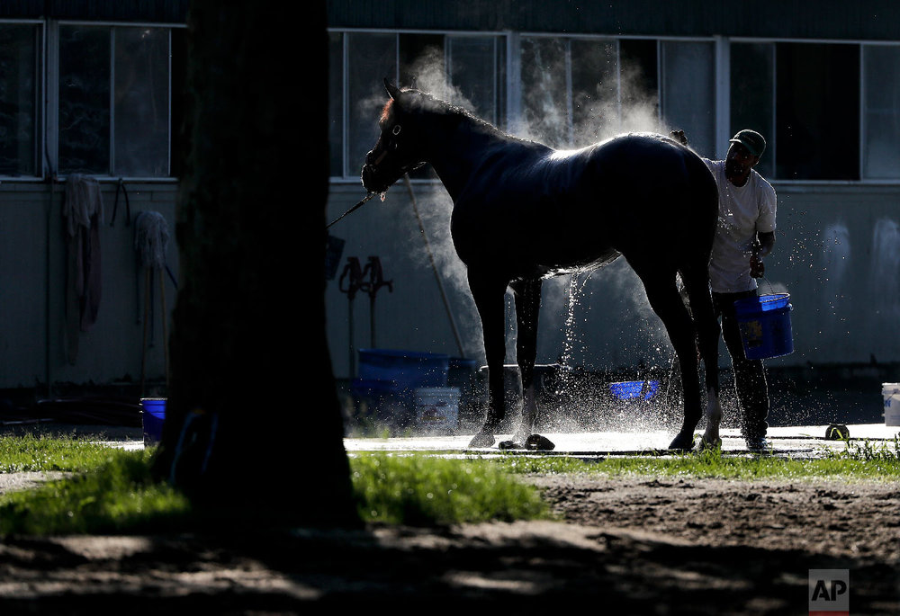 A groom bathes a thoroughbred after a workout at Belmont Park, Tuesday, June 5, 2018, in Elmont, N.Y. Justify will attempt to become the 13th Triple Crown winner when he runs in the 150th running of the Belmont Stakes horse race on Saturday. (AP Photo/Julie Jacobson)
