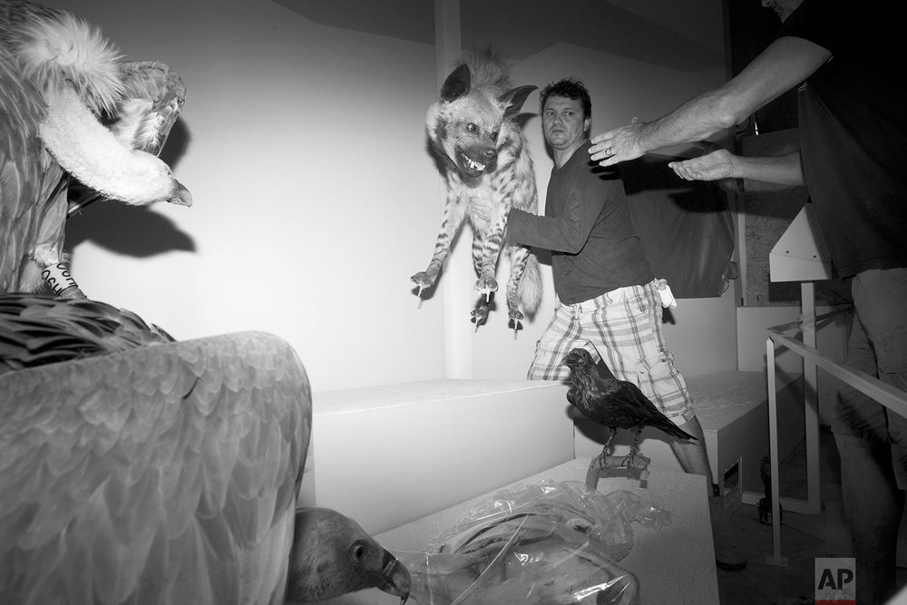 In this Tuesday, Sept 5, 2017 photo, exhibition designers carry a stuffed hyena to be displayed at the Steinhardt Museum of Natural History in Tel Aviv, Israel. (AP Photo/Oded Balilty)