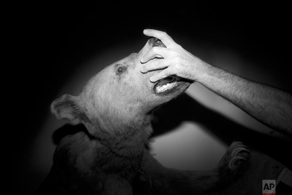 In this Wednesday, Sept 6, 2017 photo, taxidermist Igor Gavrilov makes final adjustments to a stuffed Syrian bear, killed in 1916, to be displayed at the Steinhardt Museum of Natural History in Tel Aviv, Israel. (AP Photo/Oded Balilty)