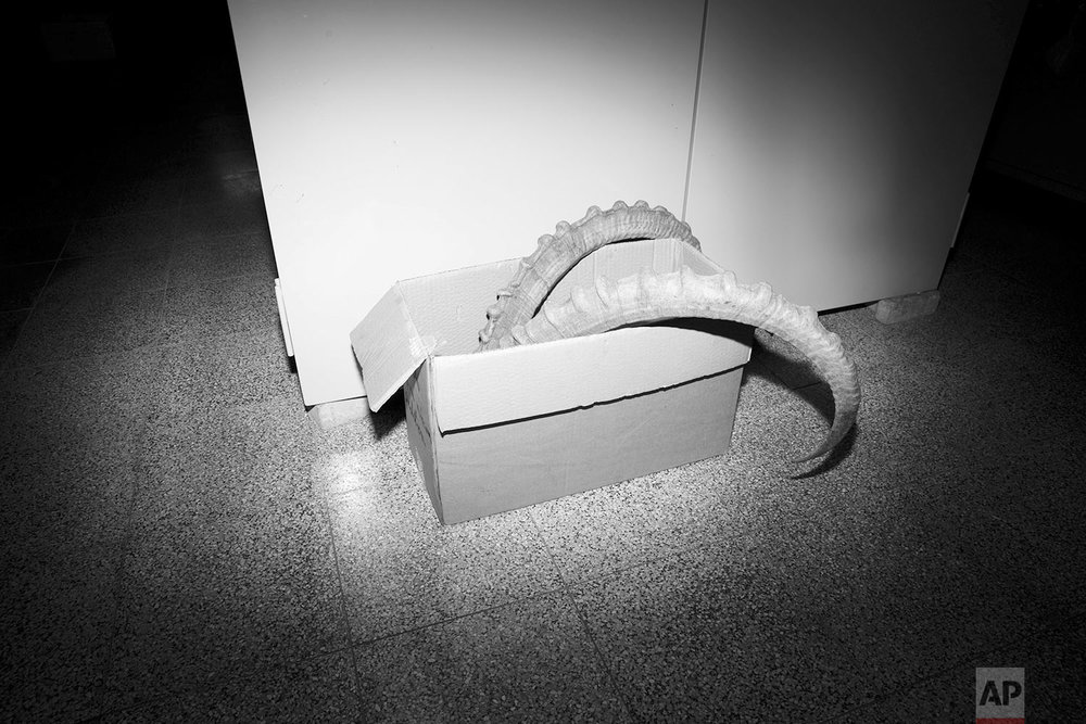 In this Monday, Sept 4, 2017 photo, goat's horns sit in a box in the collections storeroom of the Steinhardt Museum of Natural History in Tel Aviv, Israel. (AP Photo/Oded Balilty)