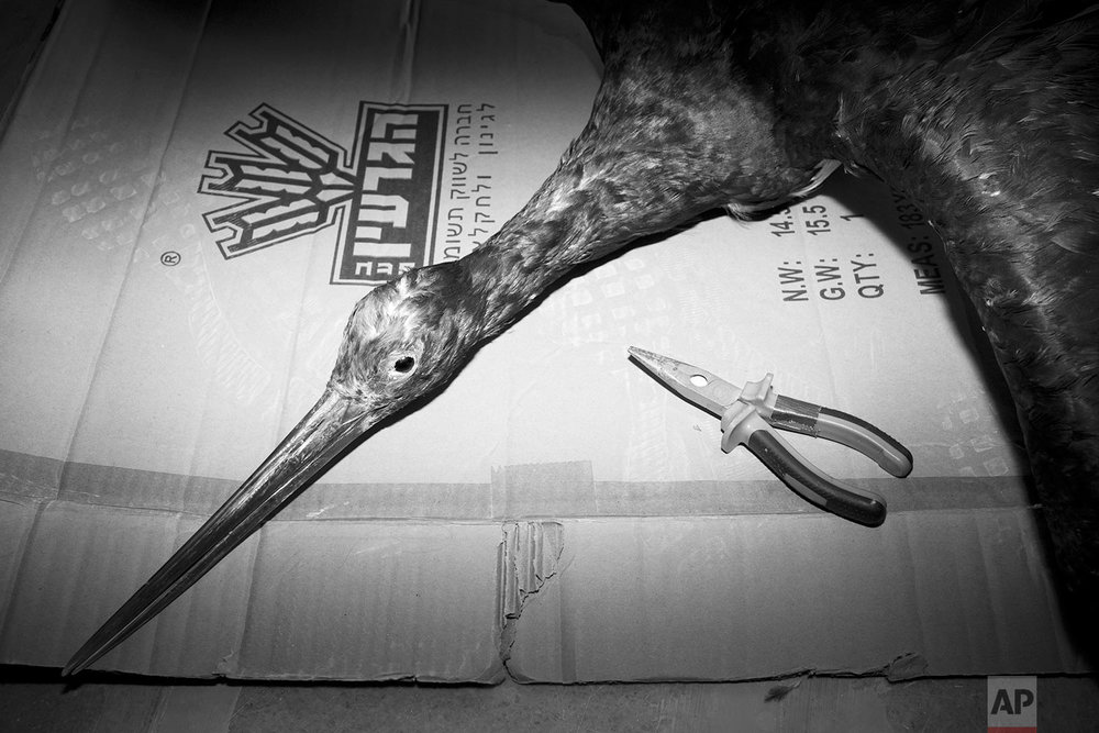 In this Tuesday, June 20, 2017 photo, a stuffed black stork, later to be displayed, is stored in the collections storeroom of Steinhardt Museum of Natural History in Tel Aviv, Israel. (AP Photo/Oded Balilty)