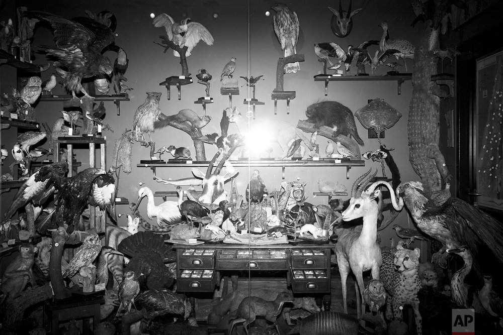 In this Sunday, April 22, 2018 photo, items from the Ernst Johann Schmitz collection are displayed at the Steinhardt Museum of Natural History in Tel Aviv, Israel. (AP Photo/Oded Balilty)