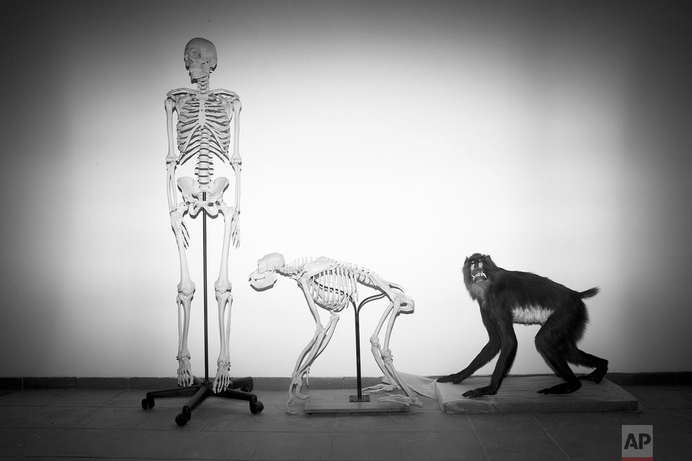 In this Monday, Feb 19, 2018 photo, a human and a monkey skeleton wait installation at the Steinhardt Museum of Natural History in Tel Aviv, Israel. (AP Photo/Oded Balilty)