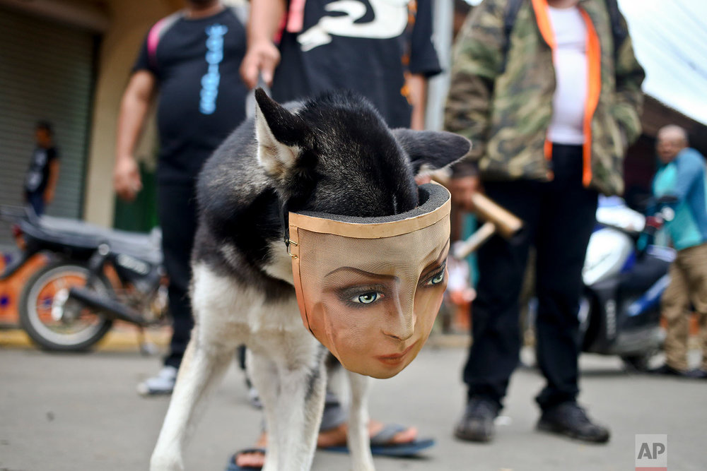 In this May 28, 2018 photo, a protester's dog wears a mask as he accompanies his owner at a road block set up by anti-government demonstrators in Masaya, Nicaragua. (AP Photo/Esteban Felix)