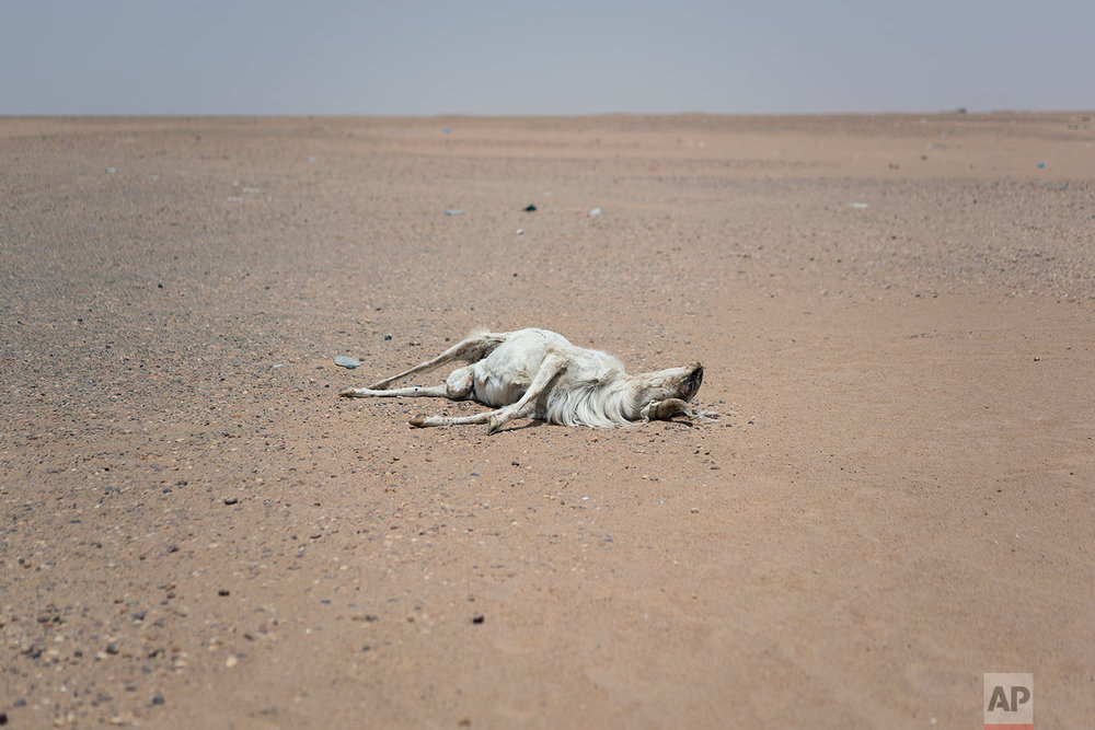 A dead goat lays in the sand outside the Assamaka border post in Niger's Tenere desert region of the south central Sahara on June 3, 2018. (AP Photo/Jerome Delay)