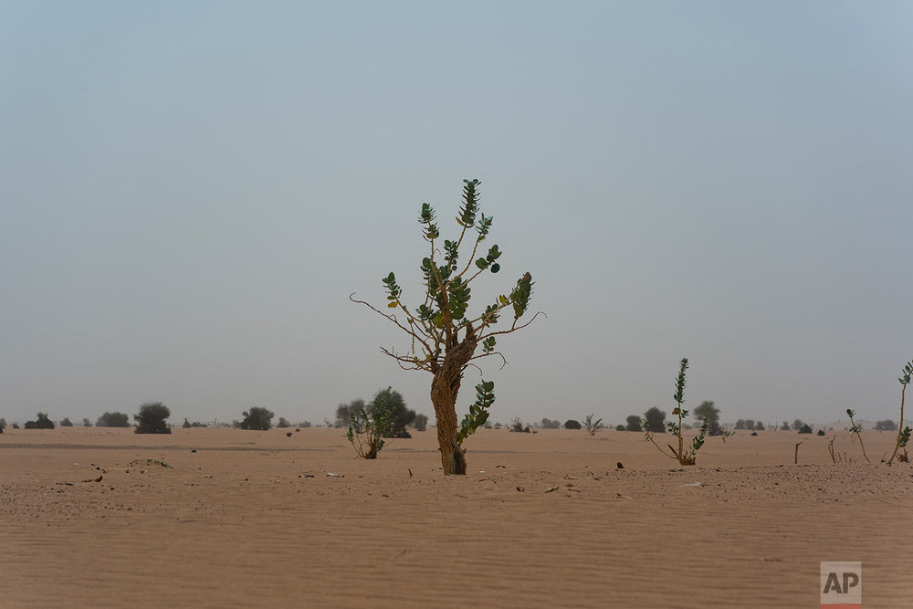 A tree grows in Niger's Tenere desert region of the south central Sahara on June 4, 2018. (AP Photo/Jerome Delay)