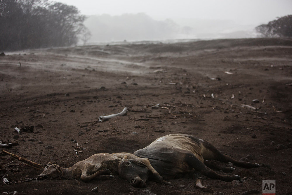 Cows lie dead amid steam rising from the hot volcanic ash following a light rain, near the Volcano of Fire in the El Rodeo hamlet of Escuintla, Guatemala, June 6, 2018. (AP Photo/Rodrigo Abd)