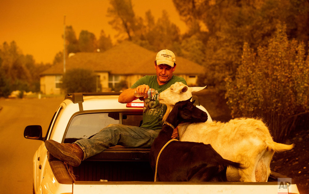 Mark Peterson, who lost his home in the Carr Fire, gives water to goats that survived the blaze on Friday, July 27, 2018, in Redding, Calif. Peterson. (AP Photo/Noah Berger)