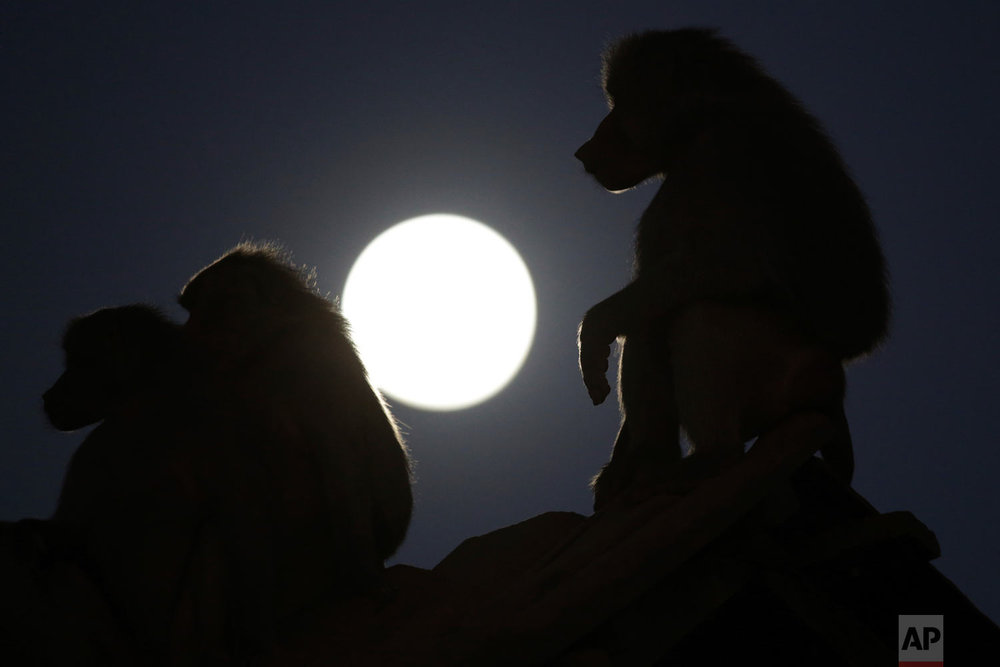Baboons are silhouetted by the moon at the city zoo in Brasilia, Brazil, Thursday, July 26, 2018. (AP Photo/Eraldo Peres)