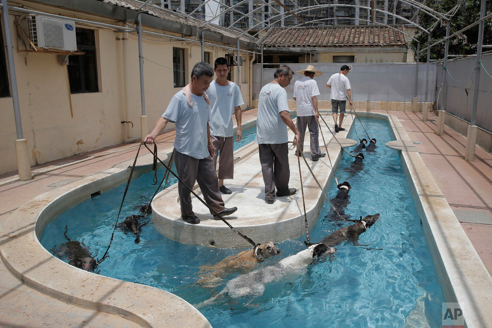 Greyhounds swim for exercise at the Macau Yat Yuen Canidrome in Macau. (AP Photo/Kin Cheung)