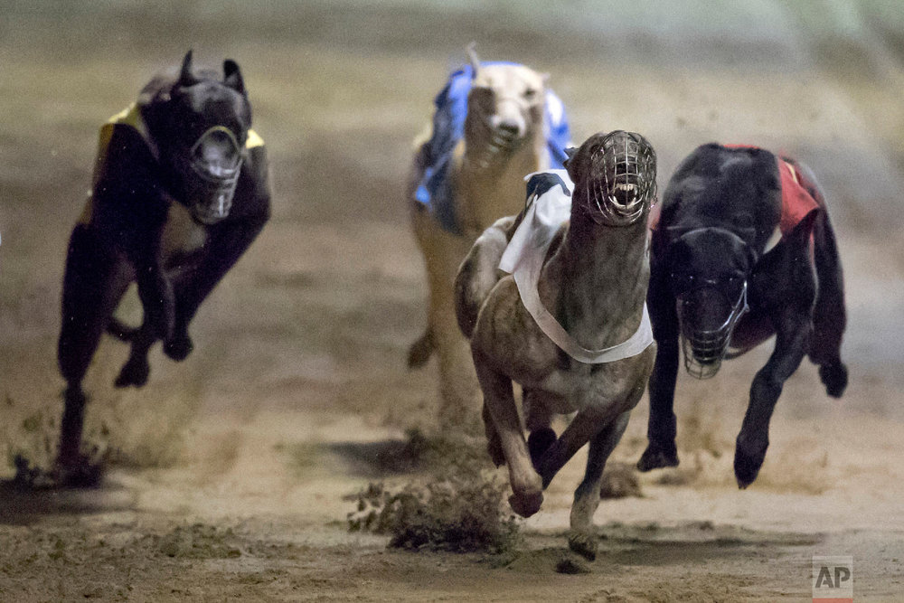 Greyhounds race at the Macau Yat Yuen Canidrome in Macau. (AP Photo/Kin Cheung)