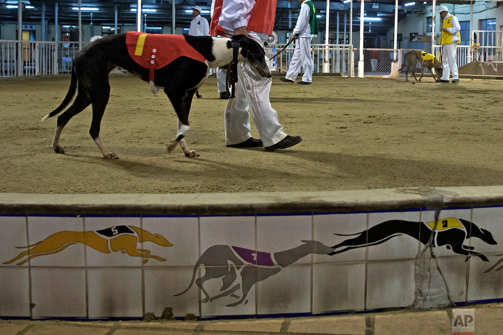 A dog handler displays a greyhound for spectators before racing at the Macau Yat Yuen Canidrome in Macau. (AP Photo/Kin Cheung)