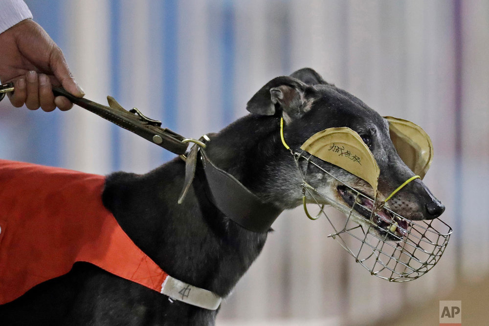 A greyhound's eyes is covered before racing at the Macau Yat Yuen Canidrome in Macau. (AP Photo/Kin Cheung)