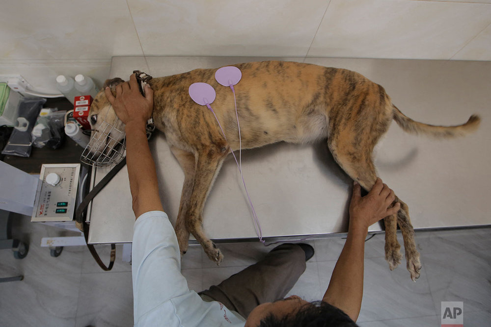 A greyhound receives a medical treatment at the Macau Yat Yuen Canidrome in Macau. (AP Photo/Kin Cheung)