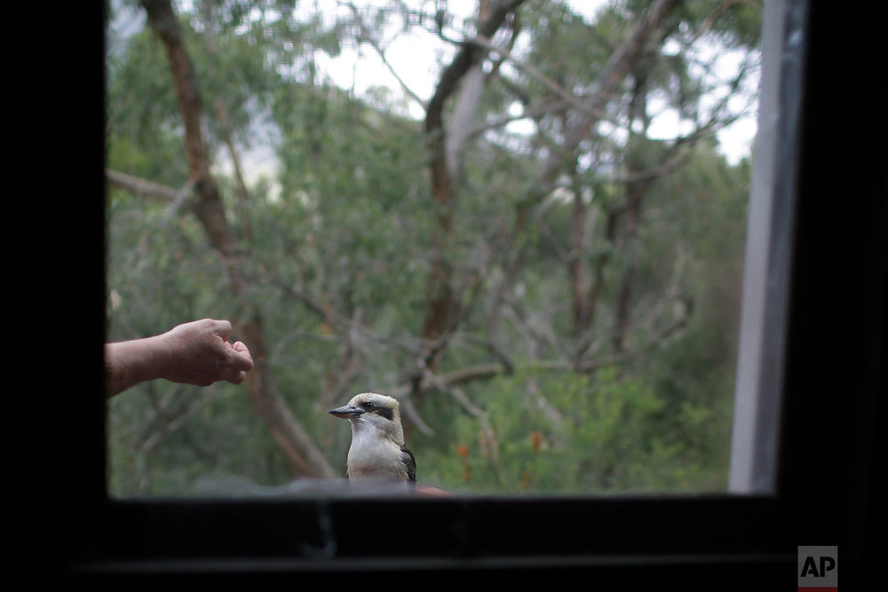 Peter Peacock feeds a wild Kookaburra on the balcony of his home in Melbourne, Australia. (AP Photo/Wong Maye-E)