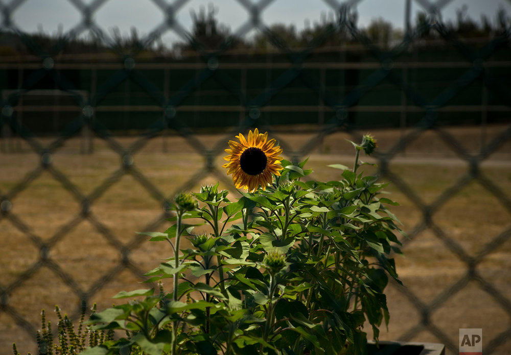 Sunflowers grow in a recreational field used by detainees, planted and cared for by the prisoners at Camp VI on the naval base at Guantanamo Bay, June 6, 2018.