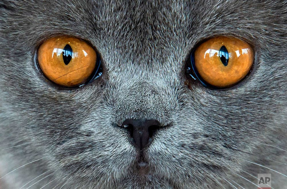 British short hair cat 'Amber von der Feenlichtung' waits during an international dog and cat exhibition in Erfurt, Germany, Saturday, June 16, 2018. More than 4,000 dogs and more than 100 cats and their owners from 21 countries take part at the exhibition and the competitions. (AP Photo/Jens Meyer)