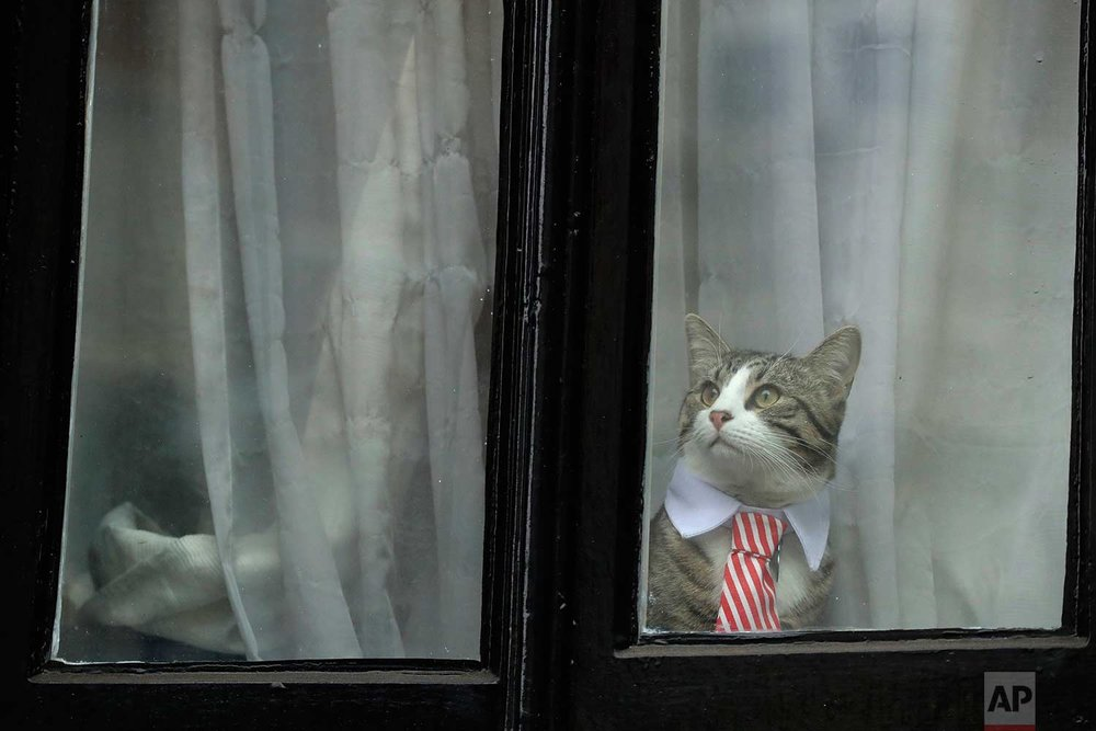 A cat dressed up with a collar and tie looks out from a window of the Ecuadorian embassy in London, Monday, Nov. 14, 2016. Swedish Prosecutor Ingrid Isgren arrived at the embassy Monday to interview Wikileaks founder Julian Assange about allegations concerning possible sexual misconduct committed in Sweden six years ago. (AP Photo/Matt Dunham)