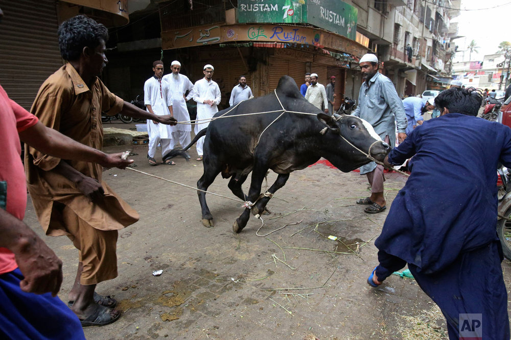 People prepare to slaughter an animal on the occasion of the Eid al-Adha holiday in Karachi, Pakistan, Wednesday, Aug. 22, 2018. Muslims around the world celebrate Eid al-Adha, or the Feast of the Sacrifice, that marks the willingness of the Prophet Ibrahim (Abraham to Christians and Jews) to sacrifice his son. During the holiday, which in most places lasts four days, Muslims slaughter sheep or cattle, distribute part of the meat to the poor and eat the rest. (AP Photo/Fareed Khan)