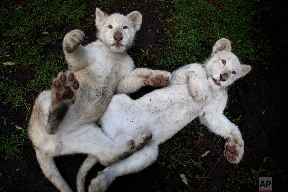 A pair of four-month-old white lion cubs play together in their enclosure at the Altiplano Zoo in Tlaxcala, Mexico, Aug. 7, 2018. Just over a dozen white lions remain in the wild, according to the Global While Lion Protection Trust, based in South Africa, though several hundred are held in zoos around the world, including several in Mexico. They are not albinos, but have coloration that results from a genetic rarity. (AP Photo/Rebecca Blackwell)