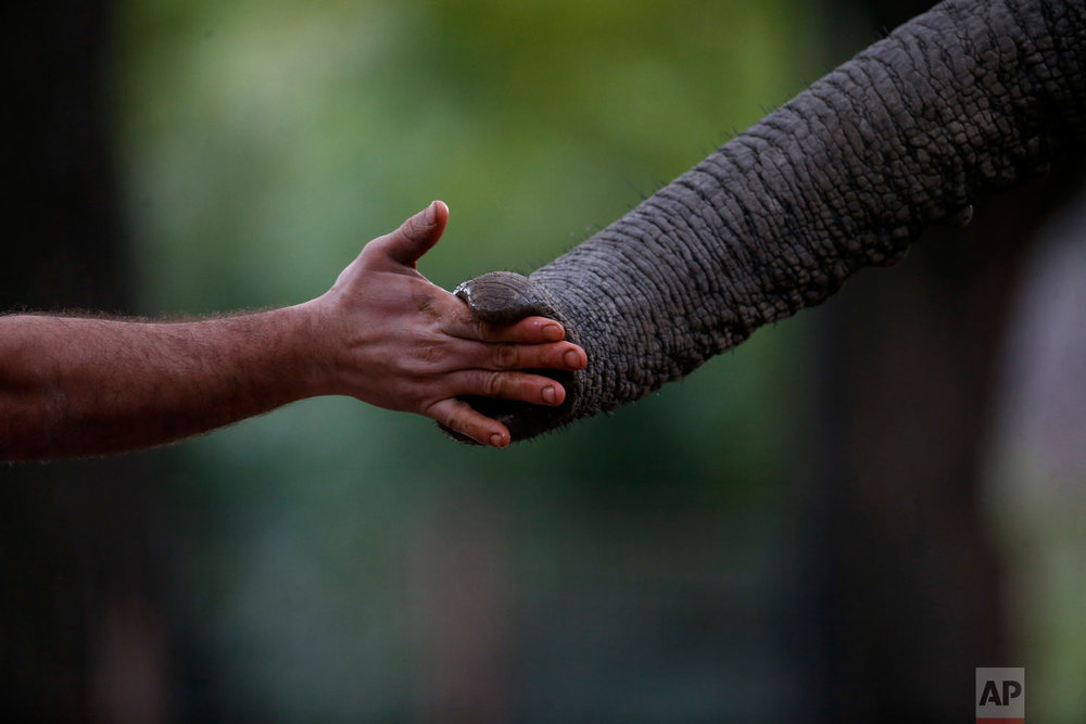 """Zoo Keeper Mariano Narvaez trains Pupy, and African elephant at the """"eco-park""""  in Buenos Aires, Argentina, Aug. 7, 2018. The recent deaths of the two animals have fueled charges by conservationists that an attempt by the Buenos Aires' government to turn a 140-year-old zoo into an """"eco-park"""" and relocate most of its 1,500 animals to sanctuaries has been a poorly planned disaster. (AP Photo/Natacha Pisarenko)"""