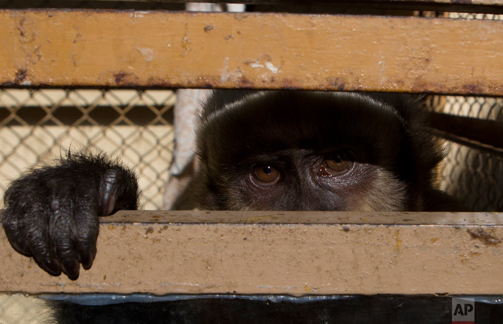 A capuchin monkey peers from a cage at a police station after being recovered from a vendor's street stall in La Paz, Bolivia, Aug. 28, 2018. The monkey, which is illegal to have as a pet, will be taken to a refuge where it will be rehabilitated before being released back into into its natural habitat, according to police. (AP Photo/Juan Karita)