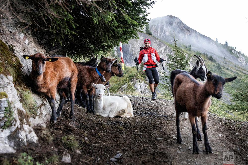 A competitor approaches some goats as he competes in the 170km Ultra-Trail of Mont-Blanc (UTMB) race, near Chamonix, French Alps, Sept 2, 2018. (AP Photo/Laurent Cipriani)