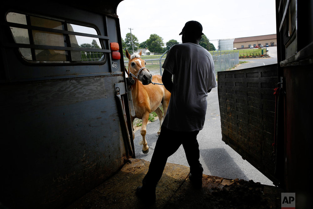 James Rich, a member of a Baltimore arabber stable, coaxes a horse into a trailer in New Holland, Pa., after it received a new set of horseshoes on June 18, 2018. (AP Photo/Patrick Semansky)