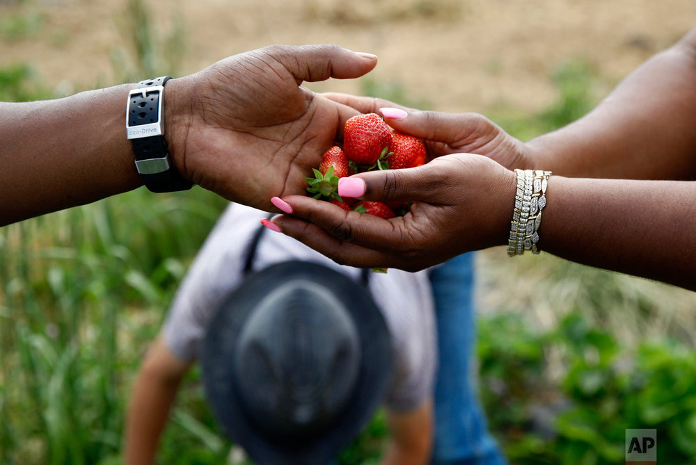 James Chase, left, hands fresh strawberries to his wife Shawnta while visiting an Old Order Mennonite family's farm in New Holland, Pennsylvania on June 18, 2018. (AP Photo/Patrick Semansky)