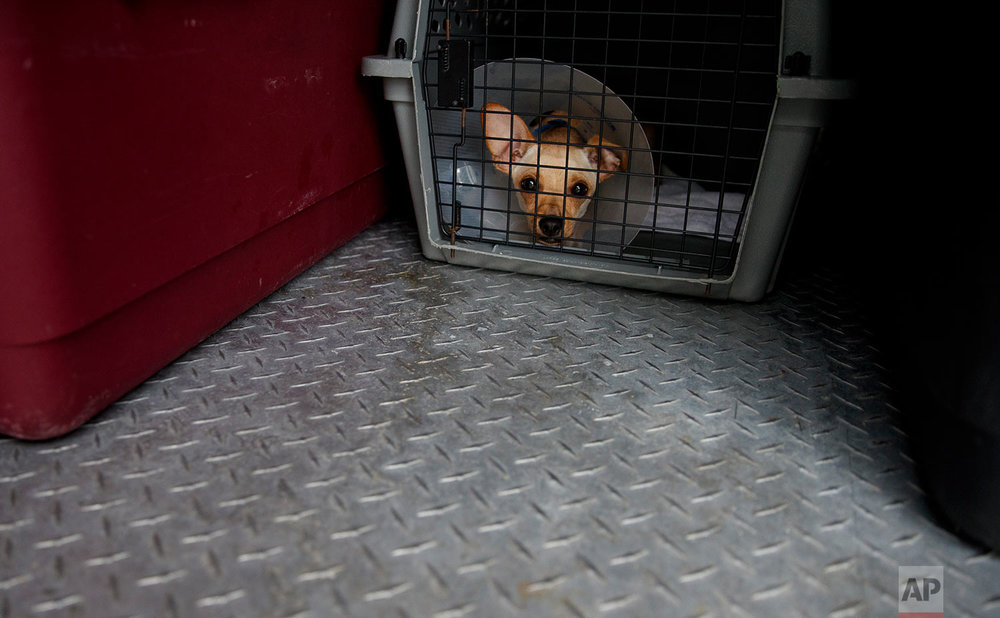 Stanford, a 6-month old Chihuahua mix, looks out from a crate in a van as 26 cats and dogs arrive at Humane Rescue Alliance in Washington, Tuesday, Sept. 11, 2018, from Norfolk Animal Care and Control of Norfolk, Va., in advance of Hurricane Florence. People aren't the only ones evacuating to get out of the path of Hurricane Florence. The dogs and cats will all be available for adoption.(AP Photo/Carolyn Kaster)
