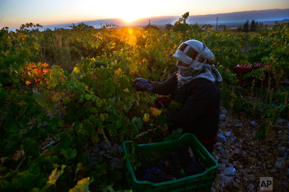 A Syrian woman harvests Syrah grapes, which will be crushed, fermented and after triple distillation will become Lebanon's national alcoholic drink, arak, in the village of Ammik, east Lebanon on Sept. 8, 2018. (AP Photo/Hussein Malla)