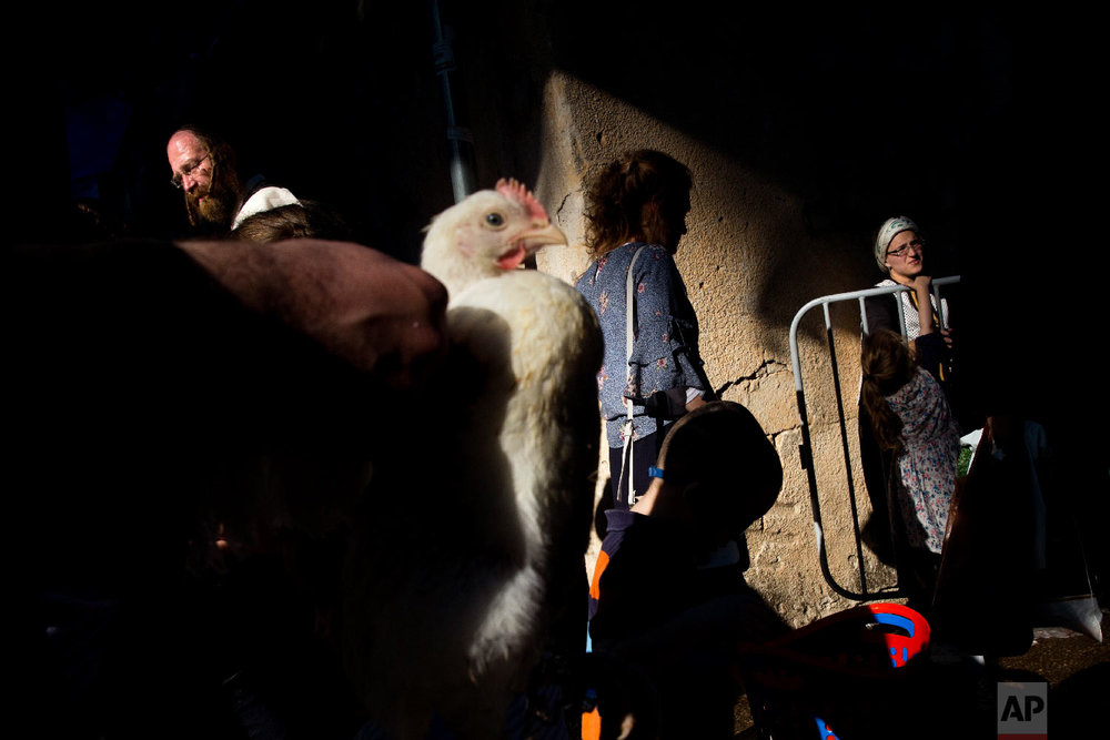 An ultra-Orthodox Jewish man holds a chicken during the Kaparot ritual in Bnei Brak, Israel, Sept. 16, 2018. Observant Jews believe the ritual transfers one's sins from the past year into the chicken, and is performed before the Day of Atonement, Yom Kippur, the holiest day in the Jewish year which starts at sundown Tuesday. (AP Photo/Oded Balilty)