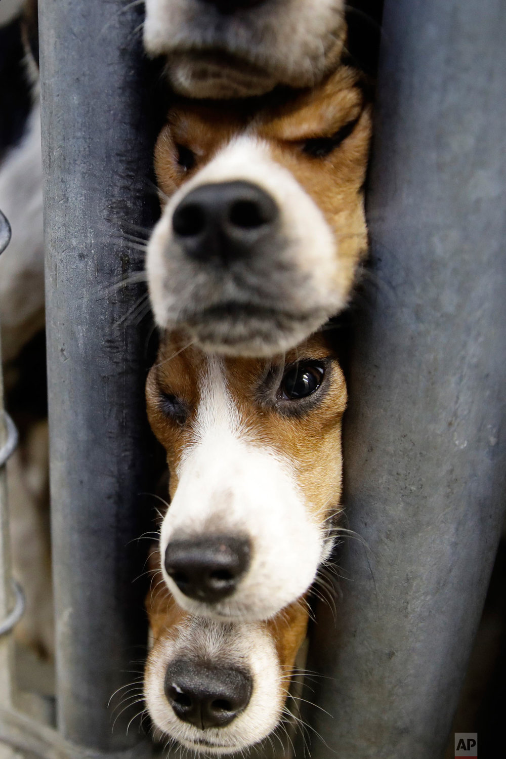 Rescued beagles peer out from their kennel at the The Lehigh County Humane Society in Allentown, Pa., Monday, Oct. 8, 2018. Animal welfare workers removed 71 beagles from a cramped house in rural Pennsylvania, where officials say a woman had been breeding them without a license before she died last month. (AP Photo/Matt Rourke)