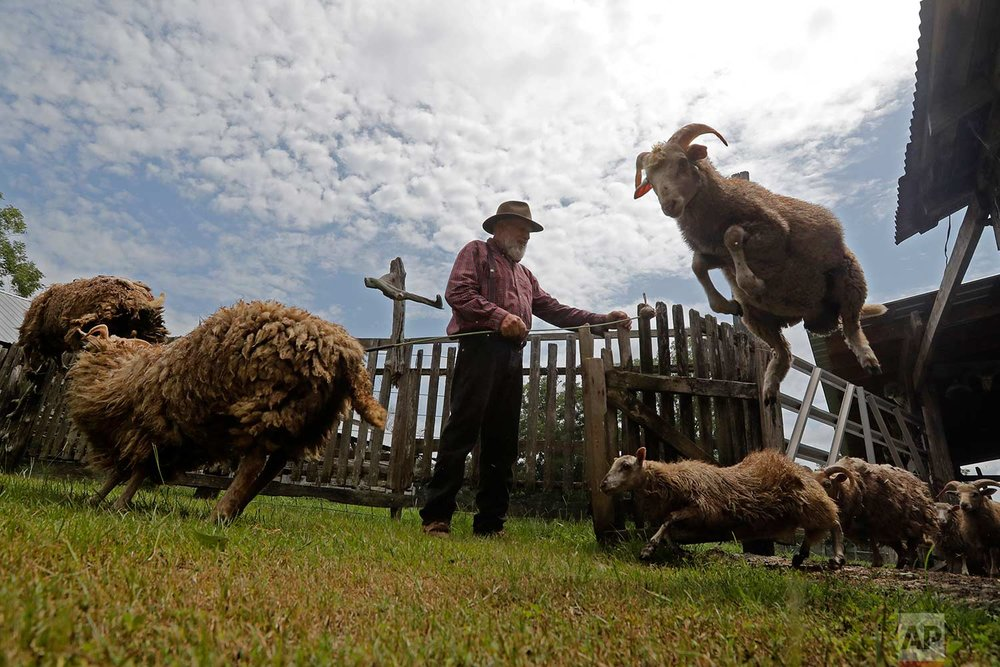 In this July 17, 2018, photo, heritage sheep, descendants of Spanish colonial sheep, leap from their pen on Brown's farm in Poplarville, Miss. (AP Photo/Gerald Herbert)