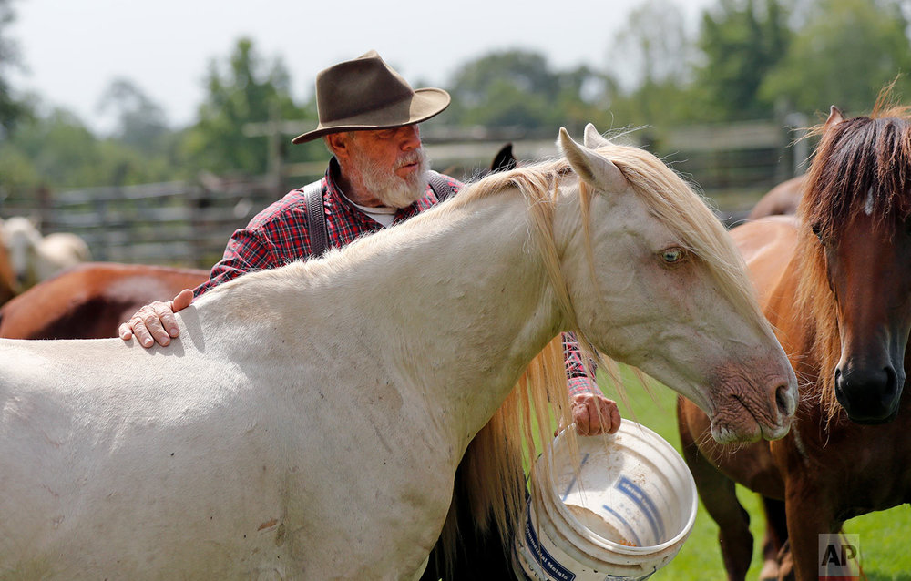 In this July 17, 2018, photo, Bill Frank Brown feeds DeSoto, a 19-year-old Pine Tacky Stallion on his farm in Poplarville, Miss. (AP Photo/Gerald Herbert)